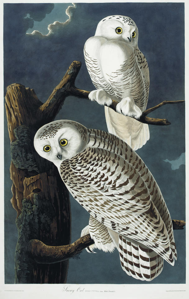 "This picture provided by Christie's showing Snowy Owls is from a rare first edition set of John James Audubon's ""The Birds of America."" Considered a masterpiece of ornithology art, the four-volume set contains more than 400 engraved hand-colored plates of all the North American species known to Audubon in the early 19th century. The volumes stand 3 ½-feet high because of Audubon's desire to depict the birds in their actual size and natural habitat. Christie's said the set is expected to sell for $7 million to $10 million at it's Jan. 20 auction. (AP Photo/Christie's)"