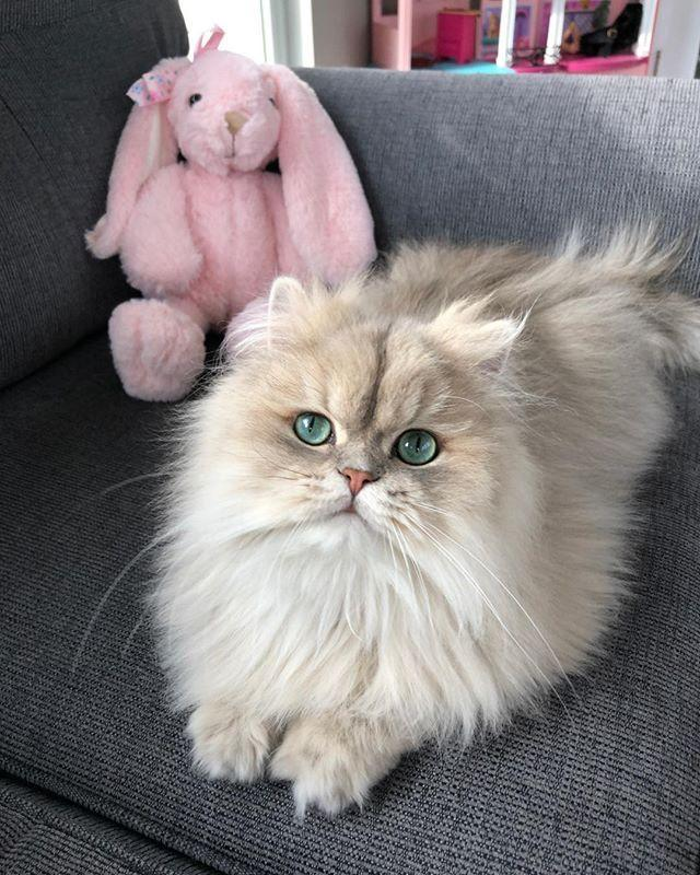 """<p>Persian cats like to be treated with respect and dignity. They often run the household (lol) and are very high maintenance, especially with their grooming regimen. But I mean, come on, one look at that pouty face and endearing eyes and you can't help but forgive their drama queen tendencies. </p><p><a href=""""https://www.instagram.com/p/B-7PvkuJWQB/?utm_source=ig_web_button_share_sheet"""" rel=""""nofollow noopener"""" target=""""_blank"""" data-ylk=""""slk:See the original post on Instagram"""" class=""""link rapid-noclick-resp"""">See the original post on Instagram</a></p>"""
