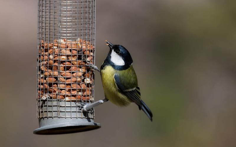 British great tit on feeder - Moment RF