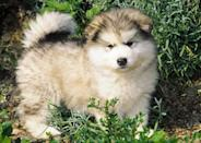"""<div class=""""caption-credit""""> Photo by: Eva Maria Kramer, Animal Photography</div><b>Alaskan Malamute</b> <br> Early Eskimos relied on <a rel=""""nofollow noopener"""" href=""""http://www.vetstreet.com/dogs/alaskan-malamute?WT.mc_id=cc_yahoo"""" target=""""_blank"""" data-ylk=""""slk:Alaskan Malamutes"""" class=""""link rapid-noclick-resp"""">Alaskan Malamutes</a> to pull sleds laden with people and goods across snowy, barren landscapes. During the height of the Alaska Gold Rush, miners paid sky-high prices for sled-and-dog teams - a good Malamute alone cost $500. <br>"""