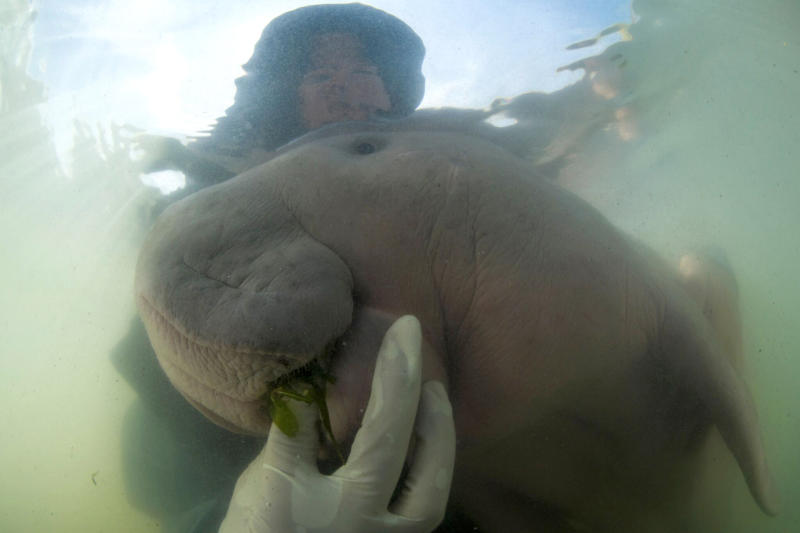 FILE - In this Thursday, May 23, 2019, file photo, an official of the Department of Marine and Coastal Resources feeds sea-grass spread to Marium, baby dugong lost from her mom in Libong island, Trang province, southern Thailand. The 8-month-old dugong nurtured by marine experts after it was found near a beach in southern Thailand has died of what biologists believe was a combination of shock and ingesting plastic waste. The female dugong - a large ocean mammal - became a hit in Thailand after images of biologists embracing and feeding her with milk and sea grass spread across social media. Last week, she was found bruised after being chased and supposedly attacked by a male dugong during the mating season. (Sirachai Arunrugstichai via AP, File)