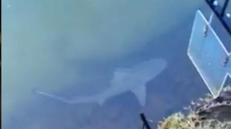 One of the bull sharks living in a locked-in canal in Queensland.
