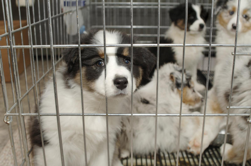 sad puppy stares at you through cage