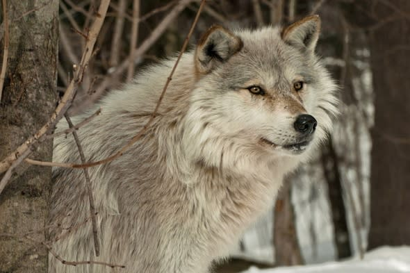 wolf-hunt-resumes-france-increased-attacks