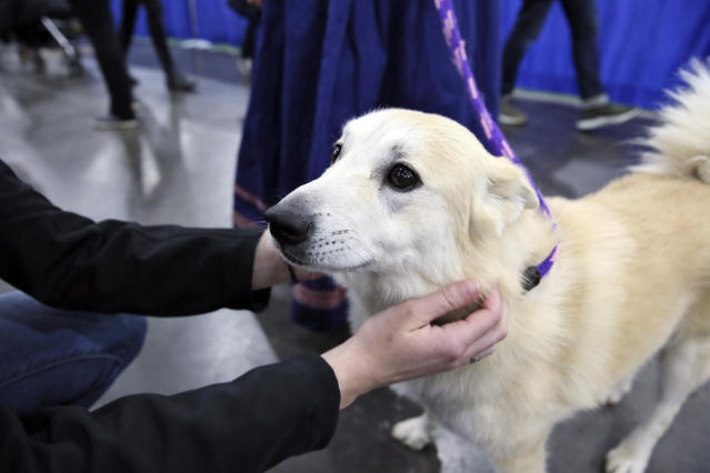 In this Saturday, Jan. 25, 2020 photo, Ghost, a Norwegian buhund, greets visitors at the American Kennel Clubs Meet the Breeds event in New York. Ghost is competing at the Westminster Kennel Club dog show, but hes also a therapy dog that makes weekly rounds to see patients, staffers and visitors at a Delaware hospital, and he visits schools to serve as a nonjudgmental listener for children learning to read. (AP Photo/Jennifer Peltz)