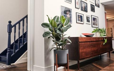 Ficus elastica, from £8, by Patch.