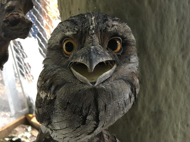 A tawny frogmouth with an injured eye.