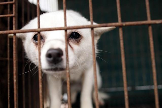 <p>Bindi nervously peers out through the bars of her cage on the dog meat farm in Wonju, South Korea in November 2016 where she had been kept to be sold and killed for her meat. Bindi was one of 150 dogs on this farm saved by Humane Society International. Bindi was flown to the UK for adoption and now lives in a loving home with two other dogs and her doting human companion. Bindi's rescue is part of HSI's ongoing programme to end the dog meat trade in South Korea and demonstrate that 'meat' dogs are no different from companion dogs. This image was featured in the charity's celebrity-attended photo exhibition at Parliament on July 11th. (Photo by Woohae Cho/AP Images for Humane Society International)<br> The Humane Society International is in the process of closing down the farm with 150 dogs and will transport the dogs to the UK and United States in January 2017. (Photo by Woohae Cho / AP Images for Humane Society International) </p>