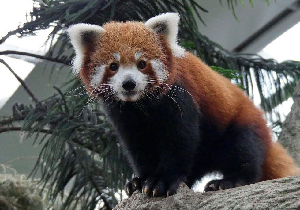 "<p>There are only around 10,000 adult red pandas <a rel=""nofollow"" href=""https://www.goodhousekeeping.com/life/travel/g4213/50-stunning-animals-from-our-national-parks/"">in the wild</a> due to poaching and loss of habitat. Conservation efforts have included making red panda hunting illegal in certain areas, but their low birth rate makes it a slow process.  </p>"
