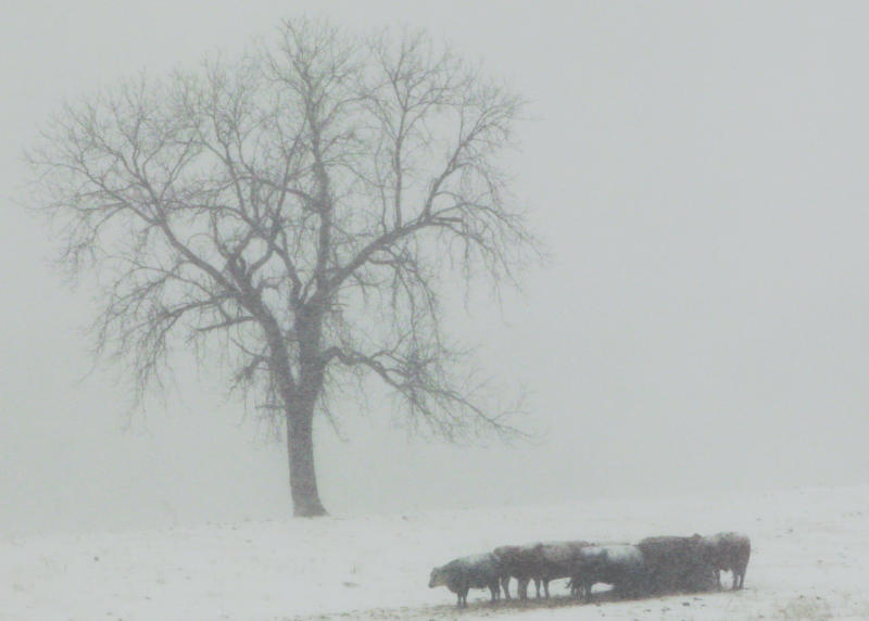 Cattle feed in a pasture near Lecompton, Kan., Tuesday, Feb. 1, 2011. (AP Photo/Orlin Wagner)