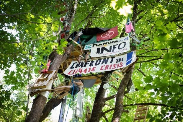 A protester climbs a tree at Lost Creek in Burnaby on Thursday, Aug. 12, 2021.  (Maggie MacPherson/CBC - image credit)