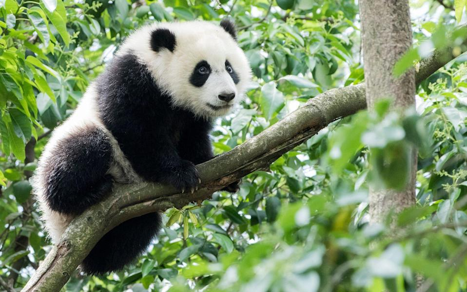 A giant panda climbs a branch - Tony Shi Photography/Getty Images
