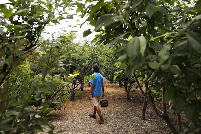 "Rishi Kumar walks through a variety of trees including plums, peaches, apricots and nectarines. <span class=""copyright"">(Christina House / Los Angeles Times)</span>"