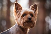 """<p>The <a href=""""https://www.dailypaws.com/dogs-puppies/dog-breeds/yorkshire-terrier"""" rel=""""nofollow noopener"""" target=""""_blank"""" data-ylk=""""slk:Yorkshire Terrier"""" class=""""link rapid-noclick-resp"""">Yorkshire Terrier</a> (or Yorkies as they're lovingly called by their human caretakers) originated from England. Today, they're considered excellent family pets as they are small, feisty, and fiercely loyal; in centuries past, they where bred to chase rats.</p>"""