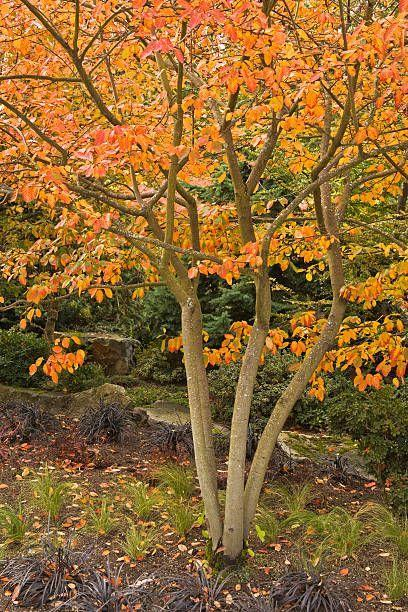 "<p>Fall is also the time for planting deciduous trees! Plant <a href=""https://www.housebeautiful.com/lifestyle/gardening/g31228292/fast-growing-shade-plants/"" rel=""nofollow noopener"" target=""_blank"" data-ylk=""slk:shade trees"" class=""link rapid-noclick-resp"">shade trees </a>now, being sure not to plant too deep (a common mistake); the root flare, where the trunk begins to widen at the base of the tree should be above ground. Add mulch to retain moisture and keep down weeds, but don't mound it up against the trunk in a ""mulch volcano"" because that invites insects and disease. </p><p>Try: Red Maple, Serviceberry, Chaste Tree</p><p><a class=""link rapid-noclick-resp"" href=""https://go.redirectingat.com?id=74968X1596630&url=https%3A%2F%2Fwww.homedepot.com%2Fp%2FOnline-Orchards-Autumn-Blaze-Maple-Tree-Bare-Root-SHRM001%2F307854323&sref=https%3A%2F%2Fwww.housebeautiful.com%2Flifestyle%2Fg33250622%2Fwhat-to-plant-in-october%2F"" rel=""nofollow noopener"" target=""_blank"" data-ylk=""slk:SHOP NOW"">SHOP NOW</a></p>"