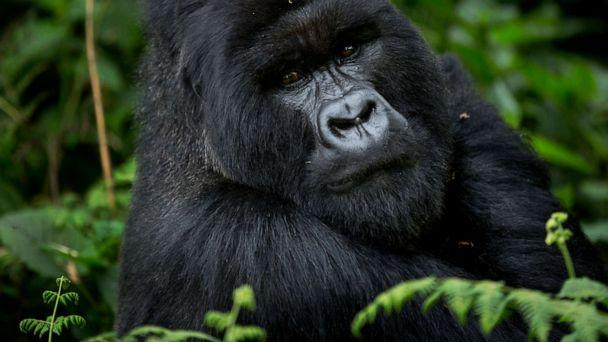 PHOTO: A male silverback mountain gorilla sits in the dense forest on the slopes of Mount Bisoke volcano in Volcanoes National Park, northern Rwanda, Sept. 4, 2015. (Ben Curtis/AP, FILE)