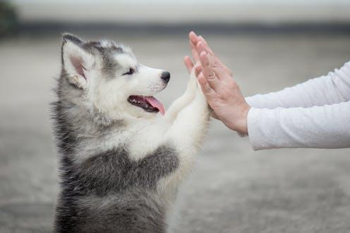 """<span class=""""caption"""">Key to the success of a long-term dog-owner relationship is building a good foundation. </span> <span class=""""attribution""""><a class=""""link rapid-noclick-resp"""" href=""""https://www.shutterstock.com/image-photo/give-me-five-puppy-pressing-his-556211362"""" rel=""""nofollow noopener"""" target=""""_blank"""" data-ylk=""""slk:from www.shutterstock.com"""">from www.shutterstock.com</a></span>"""