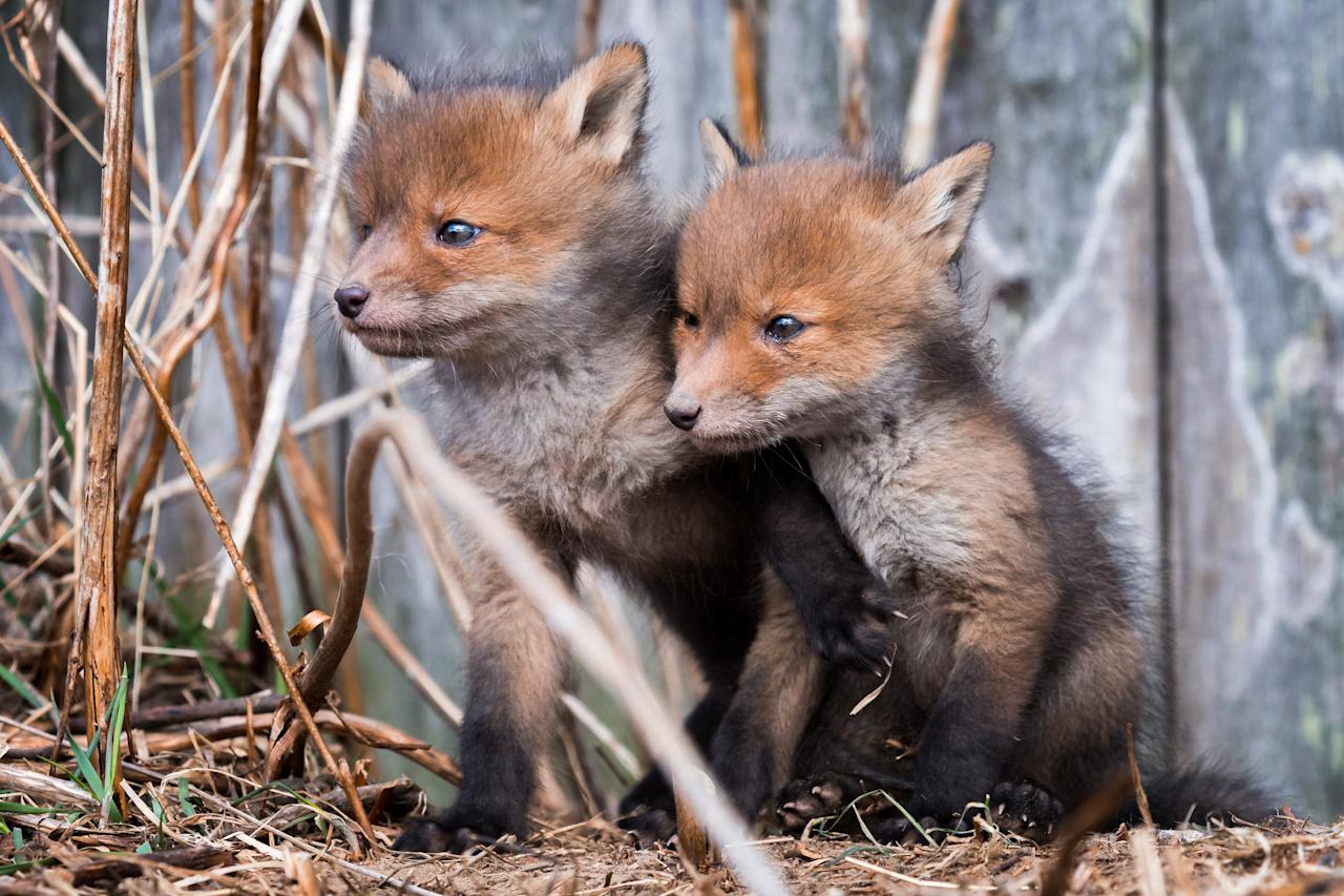 <p>Ossi, a geography student at Helsinki University, also captured the innocent faces of the foxes' cute cubs, as they nervously looked out into the big wide world. (SWNS) </p>