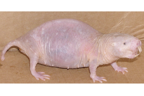 """A 15 year old pregnant """"queen"""" naked mole-rat. Dominant females continue to breed throughout their long lives and may more than double their mass during pregnancy, giving birth to as many as 29 pups in a litter."""