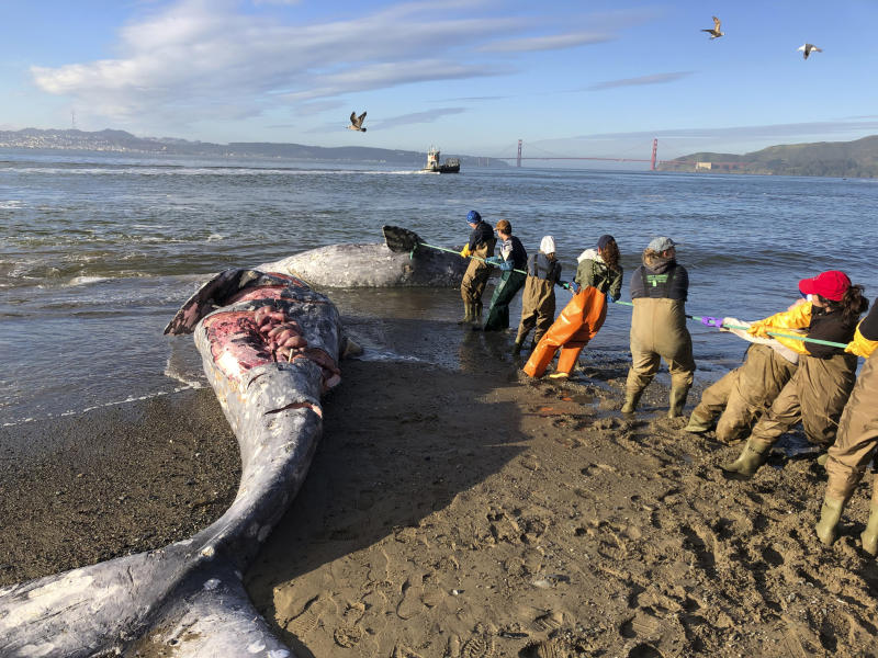 In this photo taken Tuesday, March 12, 2019, provided by The Marine Mammal Center, experts from the center and its partners at the California Academy of Sciences attempt to pull a gray whale carcass from the edge of the surf at Angel Island State Park, Calif. Marine experts say two dead gray whales were found in the San Francisco Bay this week and that one of them died from severe malnutrition. The Marine Mammal Center in Sausalito said Thursday scientists were unable to determine a cause of death for the other whale. (Cara Field/The Marine Mammal Center via AP)