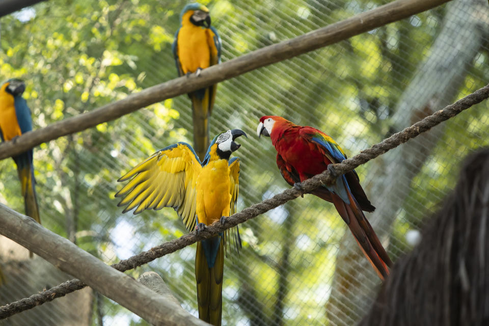 A pair of macaws perch on a rope inside an enclosure at BioParque, in Rio de Janeiro, Brazil, Wednesday, May 5, 2021. Macaw gender is near impossible to determine by sight, and requires either genetic testing of feathers or blood, or laparoscopy of the gonads. (AP Photo/Bruna Prado)
