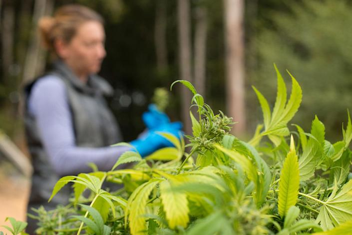 Katherine and Brad tend to their plants on a sunny day last year. Katherine is plucking the plants' big leaves, which she'll then dry. The couple sells their marijuana to a medical dispensary that uses it for tinctures to treat various ailments. (Photo: Deleigh Hermes for Yahoo News)