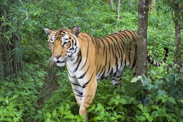 Woman clawed to death by tiger