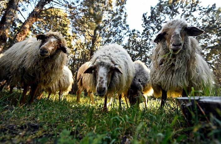 Madrid city hall has since February employed 500 sheep to munch undergrowth at the Casa do Campo park (AFP Photo/OSCAR DEL POZO)