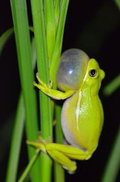 A male tree frog with its throat inflating, making a call.