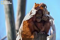 """At Audubon Park Zoo in New Orleans, this young orangutan entertained a spellbound crowd for a half hour as he peeked from under his paper-bag umbrella and made cute faces. (Photo and caption Courtesy Jerry Whitten / National Geographic Your Shot) <br> <br> <a href=""""http://ngm.nationalgeographic.com/your-shot/weekly-wrapper"""" rel=""""nofollow noopener"""" target=""""_blank"""" data-ylk=""""slk:Click here"""" class=""""link rapid-noclick-resp"""">Click here</a> for more photos from National Geographic Your Shot."""
