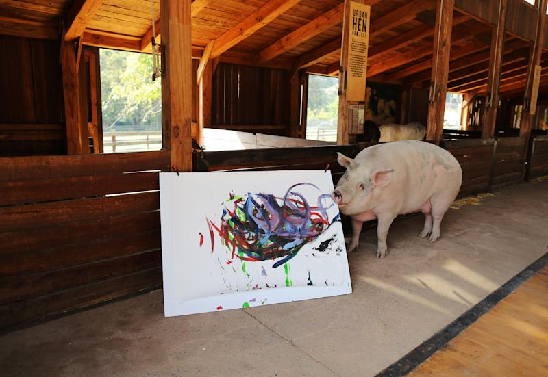 Pigcasso, a rescued pig, paints on a canvas at the Farm Sanctuary in Franschhoek, outside Cape Town, South Africa. (Photo: Sumaya Hisham/Reuters)