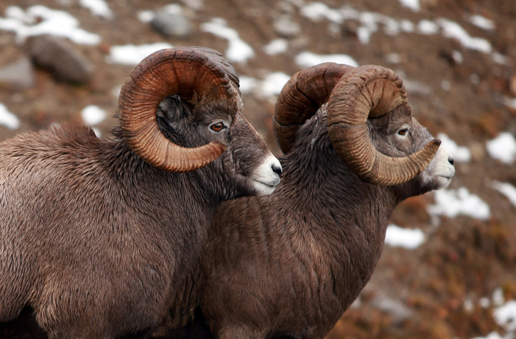 <b>Rocky Mountain Bighorn Sheep</b> (Ovis canadensis canadensis)<br>U.S. and Canadian Rocky Mountains<br><br>Bighorn males use head-to-head combat to exert dominance. They'll butt horns -- which can weigh 30 pounds -- for up to 20 hours until one ram accepts defeat.