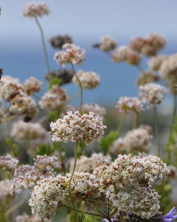 "The ""Dana Point"" variety of California native buckwheat"