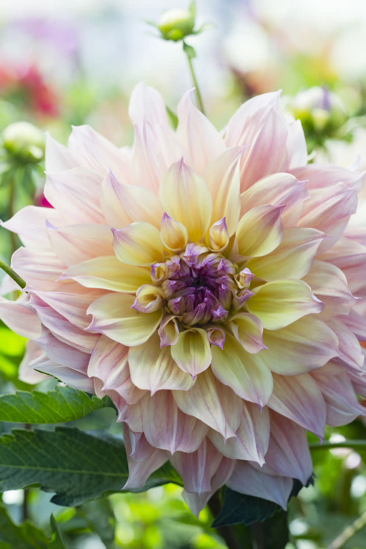 <em>At 10 to 11 inches across, 'Papageno' is a beauty, but she won't last as long as a cut flower as smaller types (Thomas J. Story / Sunset Publishing)</em>