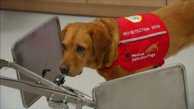 Cancer sniffing dogs to aid British doctors