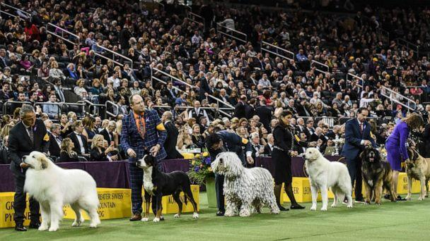 PHOTO: The Working Group competes during the annual Westminster Kennel Club Dog Show at Madison Square Garden on Feb. 11, 2020, in New York City. (Stephanie Keith/Getty Images, FILE)