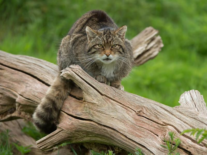 There are as few as 45 wildcats left in the highlands: Getty/iStock
