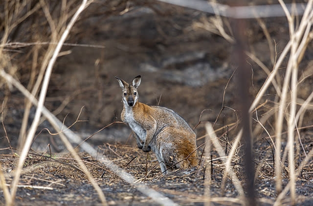 A wallaby stands in a burnt out field in Cobargo.
