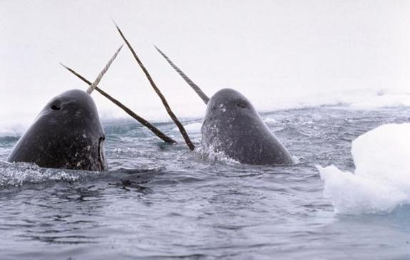 Watery unicorns? Narwhals brandish their iconic tusks amid icy seas.