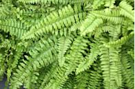 "<p>Fern plants thrive in warm, wet environments. They're great for big, bushy greenery but do need room to grow so are best placed on a deep shelf or free-standing plant stand in a larger bathroom. </p><p><a class=""link rapid-noclick-resp"" href=""https://go.redirectingat.com?id=127X1599956&url=https%3A%2F%2Fwww.crocus.co.uk%2Fplants%2F_%2Fnephrolepis-exaltata-green-lady%2Fclassid.2000027735%2F&sref=https%3A%2F%2Fwww.countryliving.com%2Fuk%2Fhomes-interiors%2Finteriors%2Fg33454786%2Fbathroom-plants%2F"" rel=""nofollow noopener"" target=""_blank"" data-ylk=""slk:BUY NOW"">BUY NOW</a></p>"
