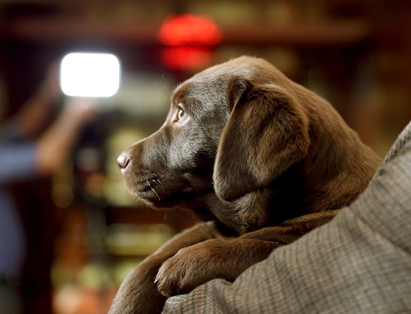 A Labrador Retriever puppy is shown to the press during a news conference February 22, 2016 in New York at the American Kennel Club (AKC) who revealed its much anticipated annual list of the countrys top dog breeds of 2015. The Labrador retriever held its title of America's most popular dog breed for the 25th consecutive year continuing the longest reign as the nations top dog in AKC history. / AFP / Timothy A. CLARY (Photo credit should read TIMOTHY A. CLARY/AFP via Getty Images)