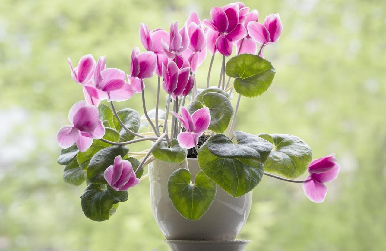"""<p>Bright Easter-egg color blooms in pink, white, or purple dance above heart-shaped leaves, with new flowers appearing for months. Cyclamen need bright light and constant moisture. They also prefer temps around 60 to 70 degrees, or the leaves tend to yellow and die. It's tough to get these to rebloom, so enjoy them at their peak and then compost. </p><p> <a class=""""body-btn-link"""" href=""""https://www.amazon.com/Three-Company-Live-Flowering-Assorted/dp/B0844QTFGH/ref=sr_1_1?keywords=CYCLAMEN%2BPLANT%2BLIVE&qid=1582580732&sr=8-1&th=1&tag=syn-yahoo-20&ascsubtag=%5Bartid%7C10057.g.31083521%5Bsrc%7Cyahoo-us"""" target=""""_blank"""">SHOP NOW</a></p>"""
