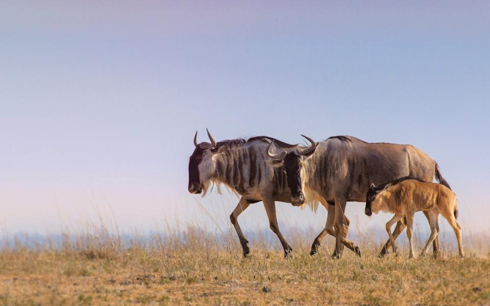 A family of wildebeest - Getty