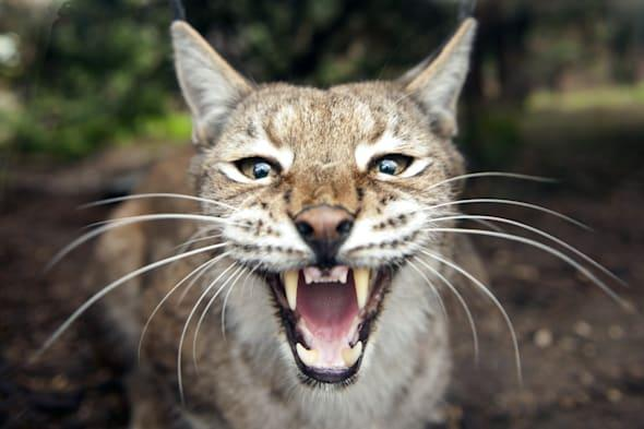Lynx could be reintroduced to Britain for the first time in 1300 years