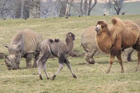 He's got the hump! Camel chases off rhino at Longleat Safari Park