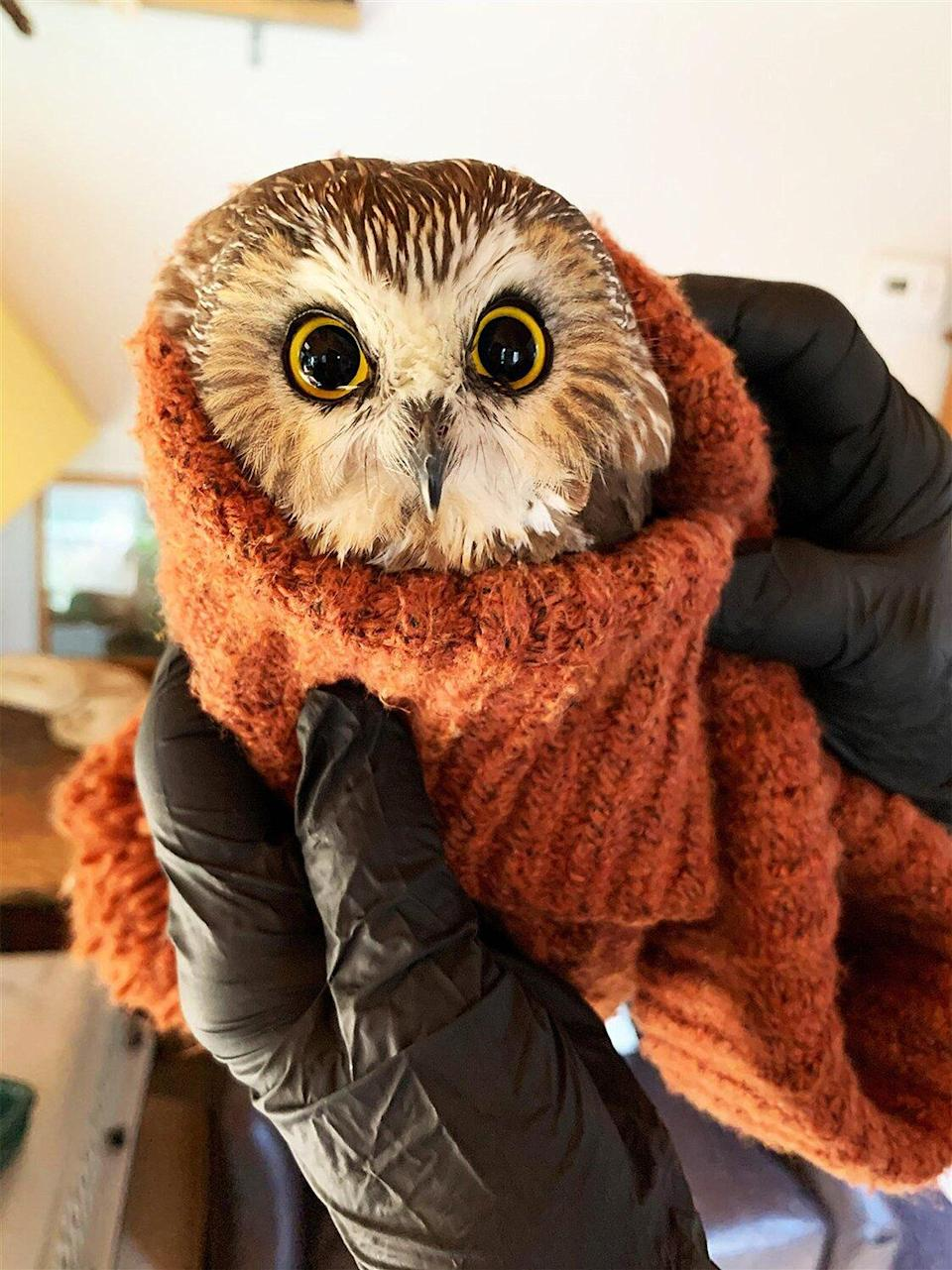 Tiny Owl Found Caught in Rockefeller Center Christmas Tree Safely Moved to New York Rescue