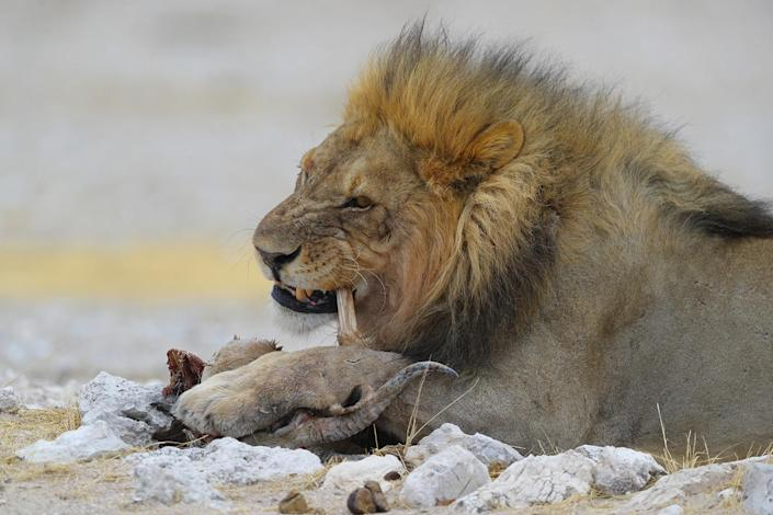 An older male lion comes away with dinner after a fight over the remains of a springbok killed at the Nebrowni water hole, Etosha National Park in Namibia. (Photo: Gordon Donovan/Yahoo News)