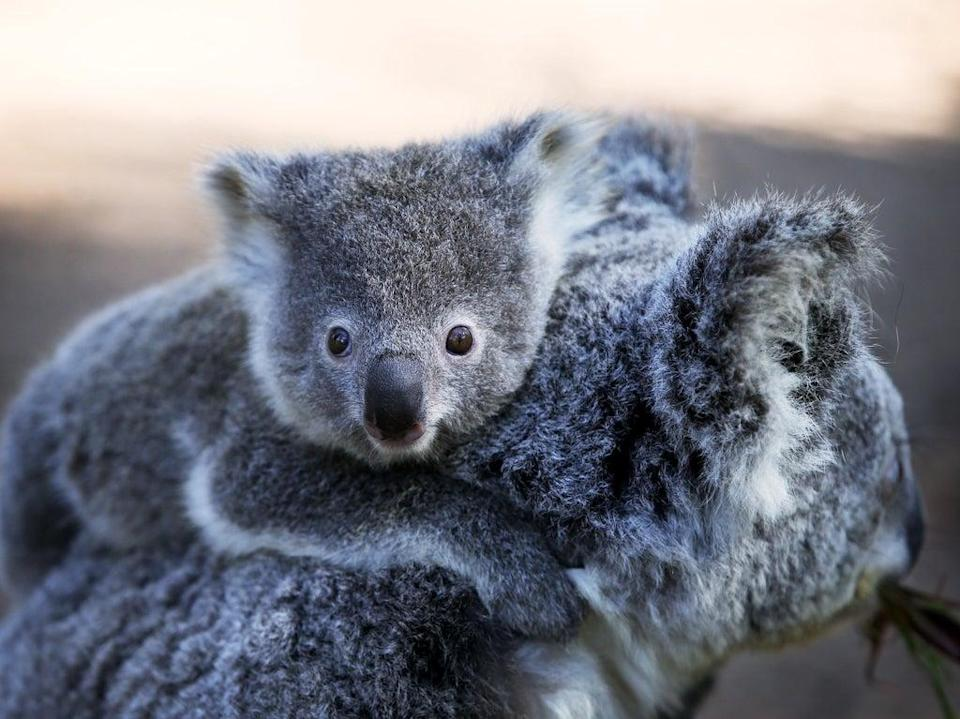 Koala populations are on the decline in Australia, according to a charity (Getty Images)