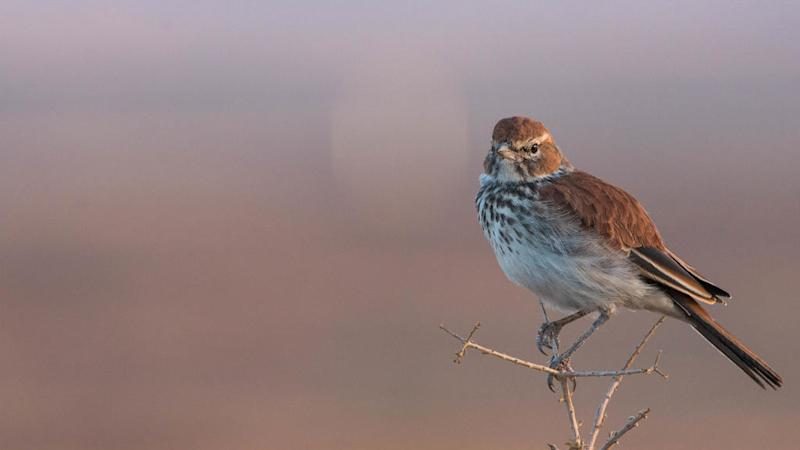 South African birds-cum-weight-watchers lark about in climate change study
