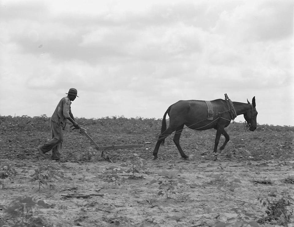 The cotton sharecropper's unit is one mule and the land he can cultivate with a one-horse plow, in Greene County, Ga., July 1937. (Dorothea Lange / Library of Congress)